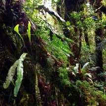 Cloudforest ferns and moss, 2000m Cerro Chompipe, Costa Rica